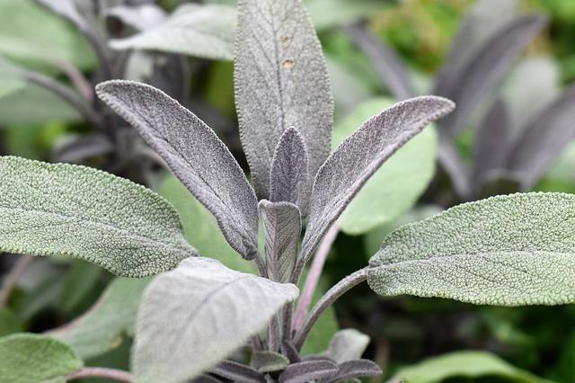 Bílá šalvěj – mocná bylinka na očistu energií