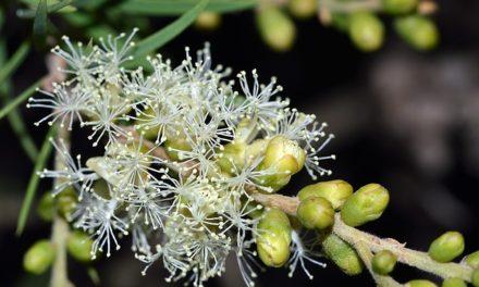 10 tipů pro použití Tea Tree oleje