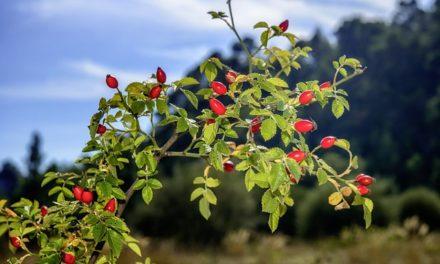 Jak sušit šípky (Růže šípková- Rosa canina L)