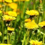 Jednoduchý recept na domácí pampeliškový med