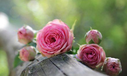 Léčivá skromná kráska – růžička stolistá